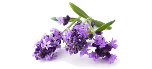 Lavendel_Duft